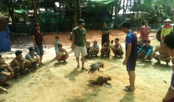 Wietnam - walki kogutów.